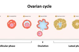 What is a good antral follicle count for IVF?